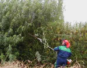Trimming a Green Barrier in living willow
